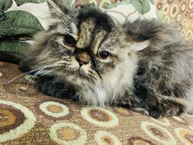 persian cat black