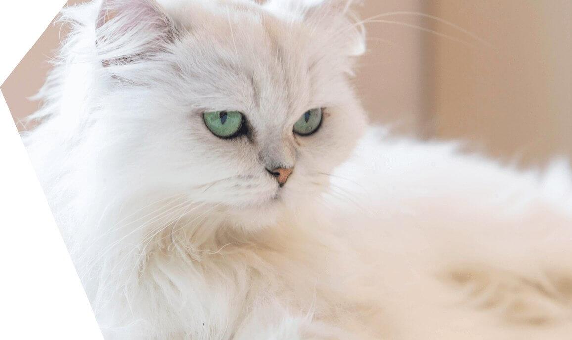 Persian Cat price In BD