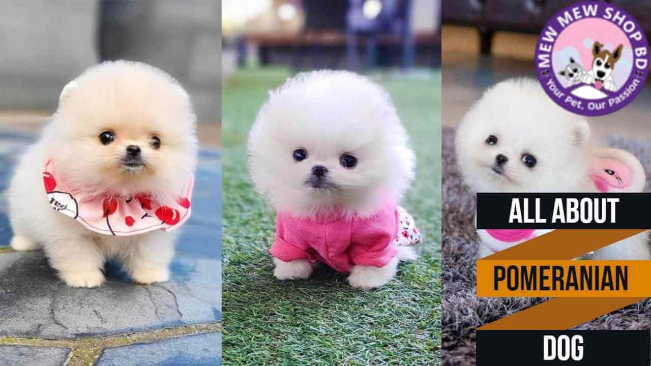 Pomeranian Dog Price In Bangladesh